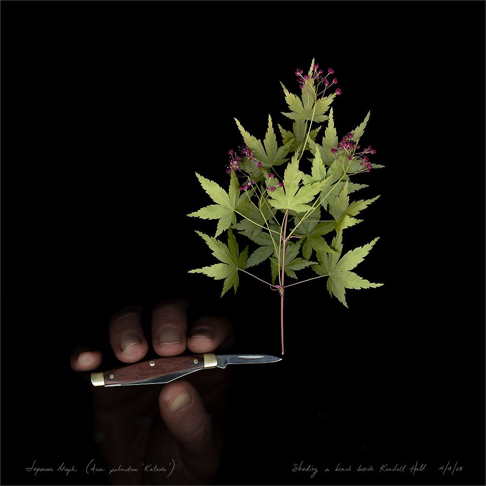 Japanese maple (Acer palmatum